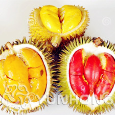 Durian Trees Bonsai Delicious King Fruit Plants Giant Free Shipping 5 Pcs Seeds