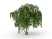 Bonsai Dwarf Weeping Willow Tree Cutting - Large Thick Trunk - One Live Tree
