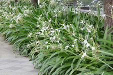 SPIDER LILY plant MEDIUM Bulb: CAN BUY UP TO 23 IN SAME BAG Hymenocallis Lilly