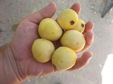 5 fresh seeds of the Marula fruit tree (Sclerocarya birrea) rare fruit tree