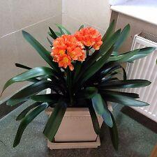 Clivia miniata - Natal lily, bush lily - 5cm tall plant