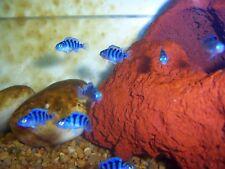 "x10 KENYI MAYLANDIA LOMBARDOI CICHLID FRESHWATER LIVE FISH SM/MD 1"" - 2"""