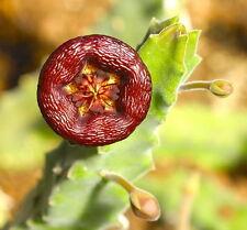 5 Stapelia engleriana SEMI SEEDS KORN RARI no huernia pseudolithos orbea