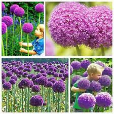 50 seed(fresh 2019) Purple giant allium giganteum/ Purple Flower For Garden