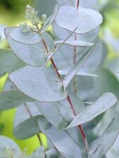 Eucalyptus Gunnii Gum Tree 50 fresh seeds approximately good silver/grey leaves