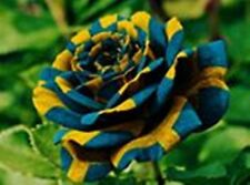 200PC Chinese rare Blue + Yellow Roses Seed germination rate of high