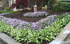 "8 Green & white edge plant Hosta  bare root 8"" High Healthy Fall Best Planting"