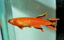 Gold Australe Killifish pair