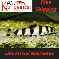 3/5/10X Golden Zebra Loach Beginner Aquarium Koi Kompanion Free Shipping