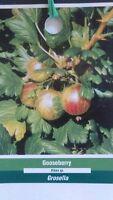 1 gal. GOOSEBERRY Bush Live Plant Healthy Sweet Berries Berry Plants Shrub