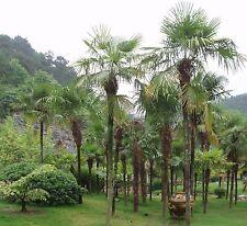 Trachycarpus takil, invierno duro palmera de la india, hardy palm, 5 semillas, 5 Seeds
