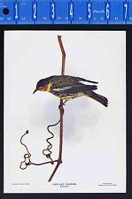 CAPE MAY WARBLER  - 1899 Nature Bird Print PLUS Bonus