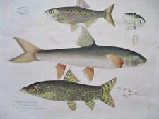 Antique Lithograph,FISH,3 CYPRINUS,BETIA,1829,B.W.Hawkins,Handcolored