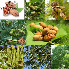 1 Pack 1 Pcs Walnut Tree Seeds The Pecan Seed Healthy Bonsai Plants S127 Plants Seeds Bulbs Home Garden