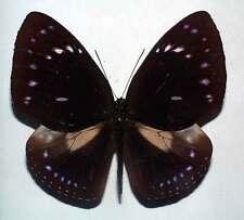 EUPLOEA LEUCOSTICTOS BANGKAIENSIS - unmounted butterfly