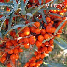 Argousier (Hippophae Rhamnoides) 50+EXTRA Seeds (#45)