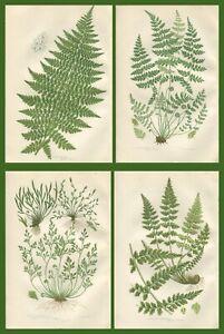 Lot of 4 Original Antique Victorian PRATT Fern Prints Botanical c1870 - Lot 25