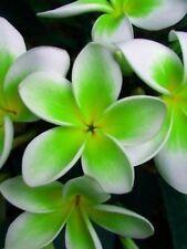 5 Green White Plumeria Seeds Plants Flower Lei Hawaiian Perennial Flowers 483