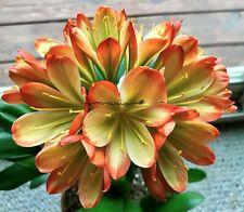 2 Amaryllis Usa Clivia Seeds Hattori Riyo (Japan) X Hattori Kylie (Japan)
