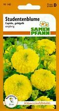 Studentenblume Cupido - großblumiger, goldgelber Dauerblüher - Tagetes Samen
