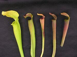 Carnivorous Sarracenia rubra Collection Named Location Plants