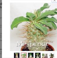 5 seeds Pachypodium Ambongense Bonsai Pachypodium Bonsai leaf plants radiation