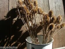30 Long Stems Dried Teasel Thistle Heads Floral Crafts Display