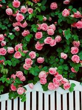 Rare Pink Climbing Rose! 15 Seeds! Comb. S/H! SEE OUR STORE!