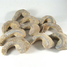 NEW!! Zigzag oyster (Lopha/Alectryonia), Natural, 1 piece - Madagascar EZIG002
