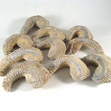 NEW!! Zigzag oyster (Lopha/Alectryonia), Natural, 1 piece - Madagascar EZIG002