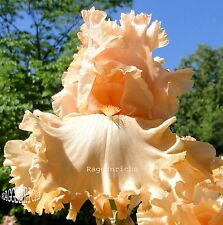 "Tall Bearded ""Bold As Love"" Iris Heavily Ruffled & Pronounced Fragrance '03"