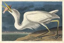 Audubon Reproductions: Birds of America: Great White Heron - Fine Art Print