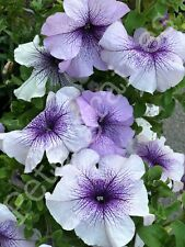 Petunia x hybridа superbissima  Daddy F1 Purple  Seeds Flower from Ukraine