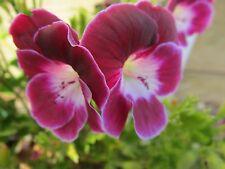 2 GERANIUM PELARGONIUM  BLACK KNIGHT PLANT $7  POSTAGE $8.00 A BOX ANY 3 PLANTS