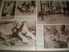 Photo article Lion Leopard Leopons bred Tokyo Zoo Japan 1962 ref AW