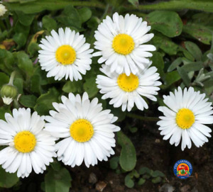 500 English Daisy Flower Seeds Single White Bellis Perennis