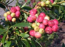 4 Blueberry Live Plants Florida Rose Rabbiteye Four Plant Fruit Garden Outdoor