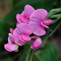 Sweet Pea- Pearl Pink- (Lathyrus Odoratus)- 15 Seeds -