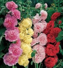 Hollyhock Seeds Alcea Chater Double Mix Holly Hock Seeds 50 Seeds ( Perennial )