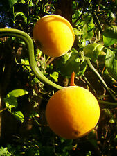 rare fruit, hardy lemon, PONCIRUS FLYING DRAGON, twisted, flowering shrub