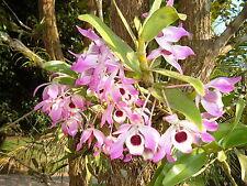 Dendrobium nobile species.