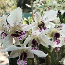 Dendrobium Roy Tokanuga ('Pink Blush' X 'Best Pink' Orchid Hybrid 4� (15)