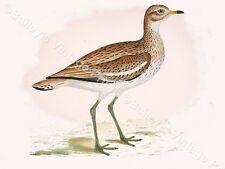 Great Plover - Game Bird ART PRINT - FREE UK P&P