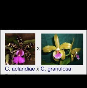 C.  Memoria Bleui (C. aclandiae x C. granulosa) Fragrant Cattleya Orchid Species