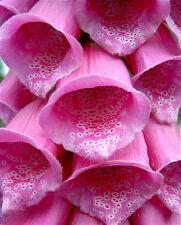 1000 Pink Foxglove Digitalis Purpurea Flower Seeds Gift