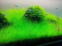 Large Dwarf Hair Grass Mat 5x3 Carpet Wall Easy Live Aquarium Plant Carpet ✅
