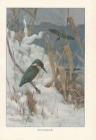 C1914 Natural History Estampado ~Kingfisher~ Lydekker