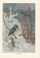 c1914 NATURAL HISTORY PRINT ~ KINGFISHER ~ LYDEKKER