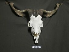 Catalina Goat Skull for crafts taxidermy mounting and lodge home cabin SG0200