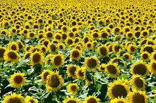 SUNFLOWER 150+ seeds ORGANIC BULK PACK flower garden spring summer EASY large
